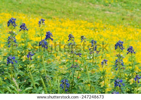 Purple and yellow wildflowers blooming in a mountain field - stock photo