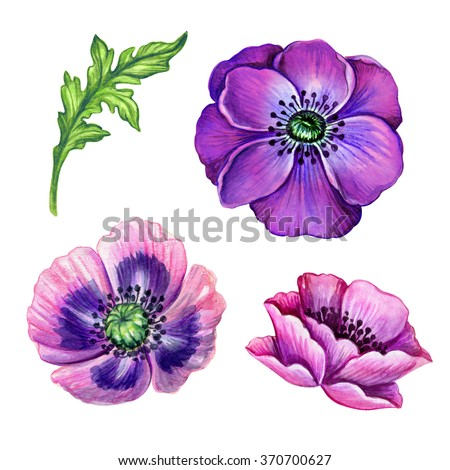 purple anemone and pink poppy flower details, floral design elements, isolated on white background, hand painted watercolor illustration - stock photo