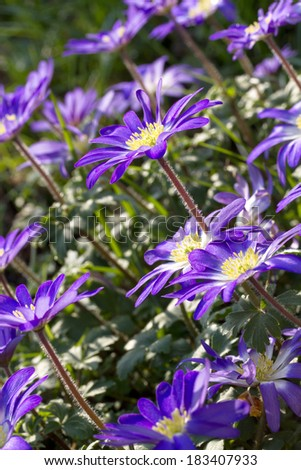 purple anemone blanda flowers in the garden - stock photo