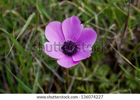 purple anemone flower, close up - stock photo