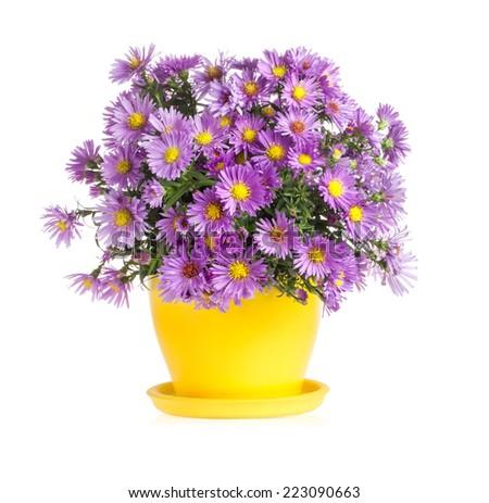 Purple autumn flowers in flowerpot isolated on white background - stock photo