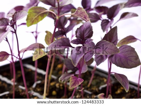 Purple basil sprouts in plastic containers - stock photo