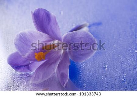 Purple beautiful  spring flower of crocus over blue wet mirror background - stock photo