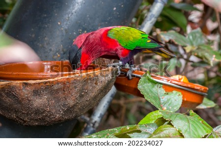 Purple bellied Lory, Lorius hypoinochrous, drinking water. - stock photo