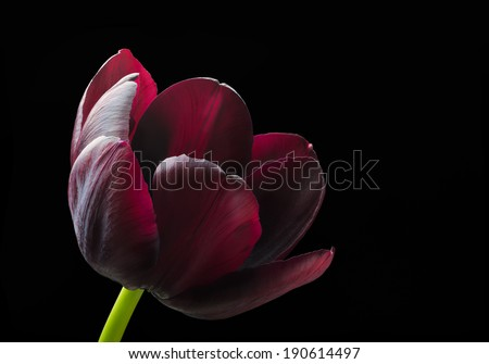 Purple black tulip. - stock photo