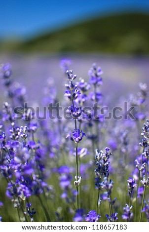 purple blooming lavender field in Bulgaria - stock photo
