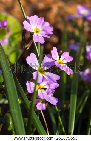 purple blue forget-me-not flowers in spring close up - stock photo