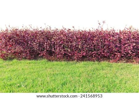 purple bush isolated on white background - stock photo
