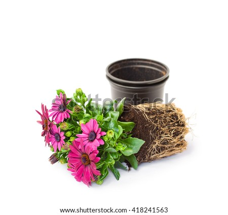 Purple  cape daisy flower ready for planting isolated  - stock photo