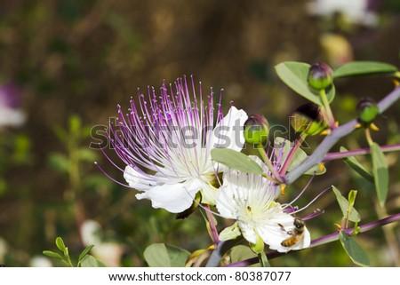 purple capparis flower - stock photo