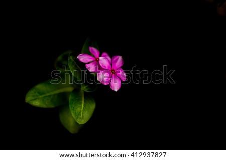 purple Cayenne jasmine on Black background - stock photo