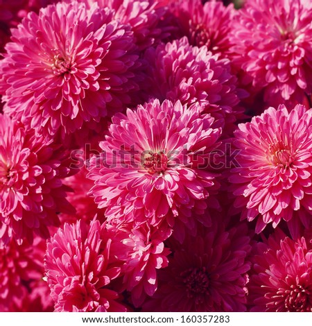 purple chrysanthemum - stock photo