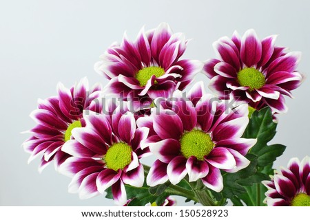 Purple chrysanthemum bouquet closeup - Chrysanthemum indicum - Florist chrysanthemum - Dendranthema - stock photo