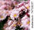 purple chrysanthemum flowers - stock photo
