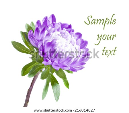 Purple chrysanthemum isolated on white background - stock photo
