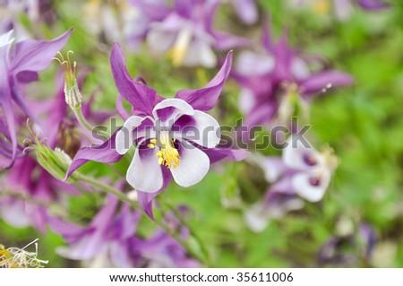 purple columbine - stock photo