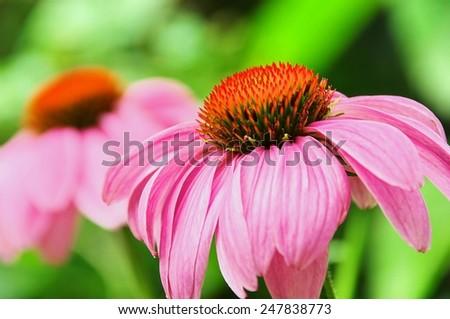 Purple Coneflower  - stock photo