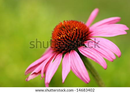 Purple Coneflower.  Echinacea. - stock photo