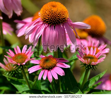 Purple Coneflowers in a garden in rural Georgia, USA.. - stock photo