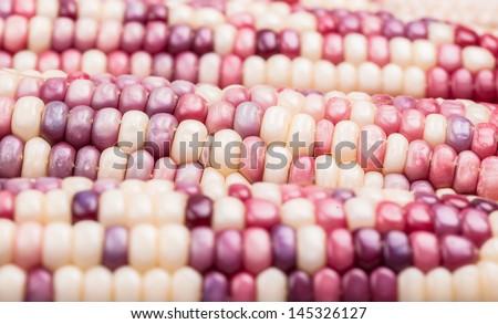 purple corn studio shoot with white white background - stock photo
