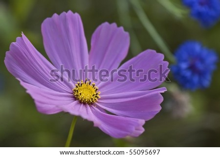 Purple Cosmo Close-Up - stock photo