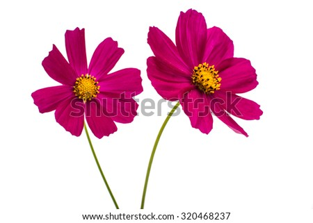 Purple cosmos flower on a white background - stock photo