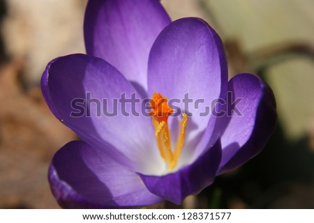 Purple Crocus Blossoming - stock photo