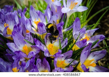 purple crocus flowers closeup bumblebee pollinates  - stock photo