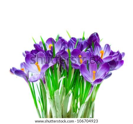 Purple crocus isolated on white background - stock photo