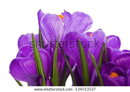 purple crocus wild flower plant in spring - stock photo