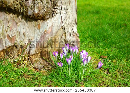 Purple crocuses (crocus sativus) growing in a Cotswold Country garden in Spring near to Painswick, The Cotswolds, Gloucestershire, United Kingdom                                   - stock photo