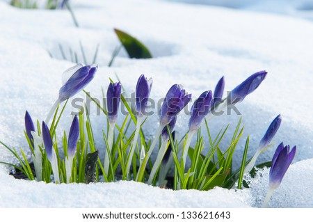 Purple crocuses growing up through the snow in early spring - stock photo