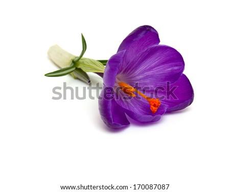 purple crocuses isolated on white backrgound - stock photo
