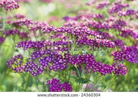 Purple cultivar of common yarrow, Achillea millefolium. Flower head showing multitude of tiny flowers. Used as a cut flower. - stock photo