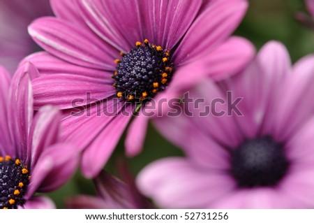 Purple daisies detail - stock photo