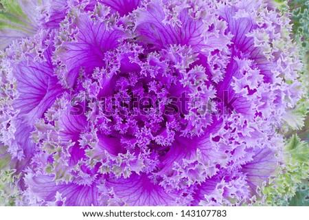 Purple decorative cabbage. - stock photo