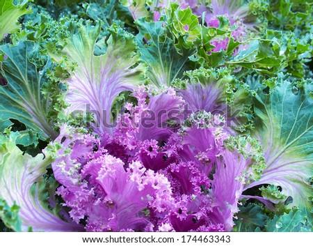 Purple decorative cabbage background. Selective focus. - stock photo