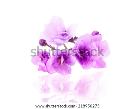 Purple Delicate Violet Flower, Isolated - stock photo
