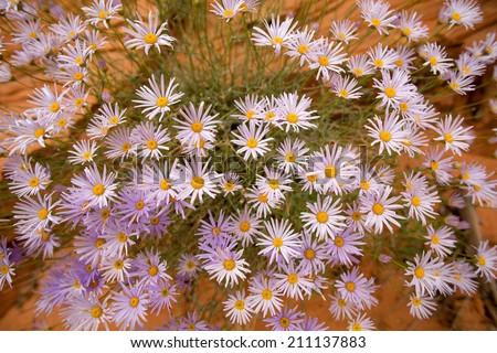 purple desert wild flowers - stock photo