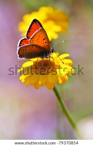 Purple-edged Copper butterfly (Lycaena hippothoe) and spring flowers - vertical photo - stock photo
