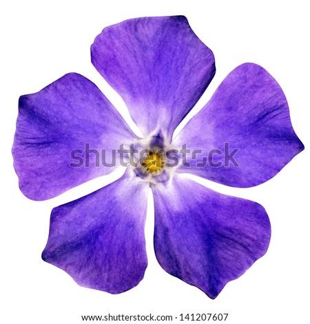 Purple Flower - Beautiful Periwinkle - Vinca minor - Isolated on White Background - stock photo
