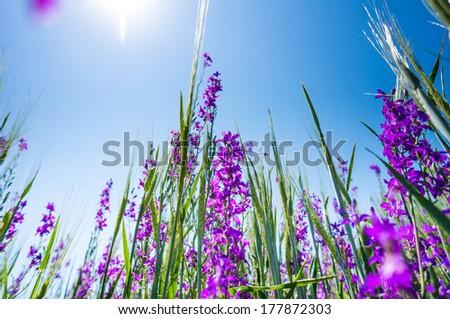 Purple flower field background under sunny sky - stock photo