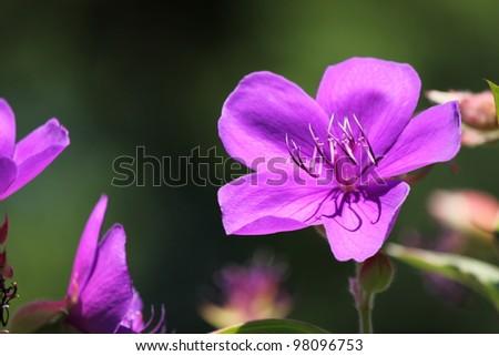 Purple flower filed - stock photo