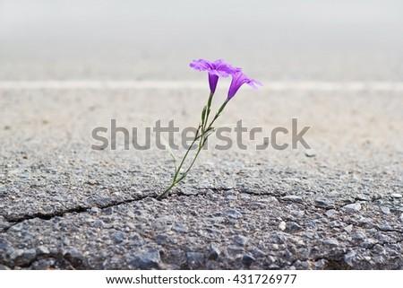 purple flower growing on crack street, soft focus - stock photo