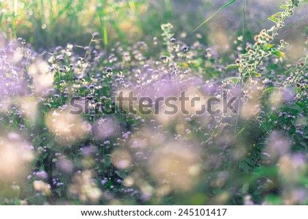 purple flower in garden,Mor Hin Khao - Mueng Chaiyaphum, Thailand - stock photo