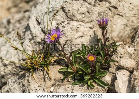 Purple flower in nature, spring flowers, blooming flowers, flora - stock photo