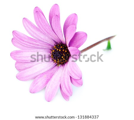 Purple flower osteospermum on a white background. - stock photo