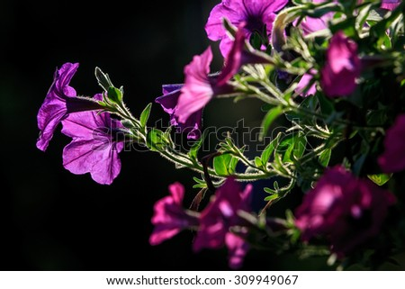 Purple flowers are about to bloom. - stock photo