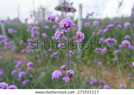 Purple flowers during the evenings. - stock photo
