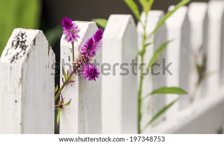 Purple flowers growing through a whit picket fence. - stock photo